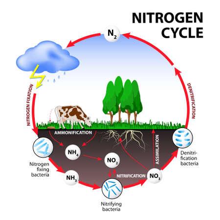 Ciclo dell'azoto. I processi del ciclo dell'azoto trasformano azoto da una forma all'altra. Illustrazione del flusso di azoto attraverso l'ambiente. Archivio Fotografico - 54571499