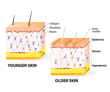 Visual representation of skin changes over a lifetime. Collagen and elastin form the structure of the dermis making it tight and plump. Fibroblasts synthesize collagen and elastin.