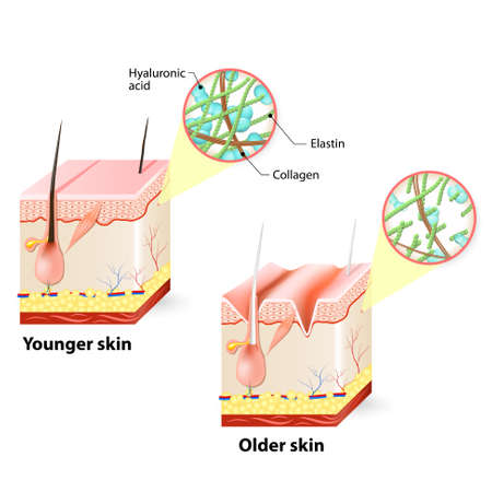 fibroblast: Visual representation of skin changes over a lifetime. Illustration