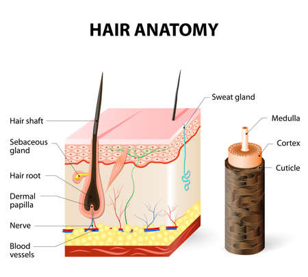 Hair anatomy. The hair shaft grows from the hair follicle consisting of transformed skin tissue. The epidermal cells transform at the command of the dermal papilla cells and generate the hair shaft. Ilustrace