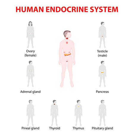 glands: Human endocrine system. Man and woman silhouette with endocrine glands. icons set. Illustration