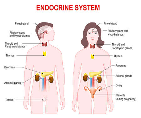 glands: endocrine system. Human anatomy.  Man and woman silhouette with highlighted internal organs.