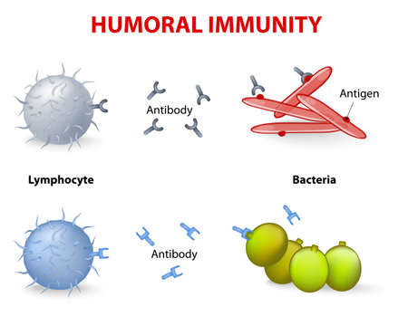 t cell: humeral immunity. Lymphocyte, antibody and antigen.