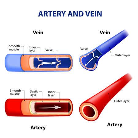 artär och ven. Cirkulationssystemet. Rött indikerar syresatt blod, blå indikerar