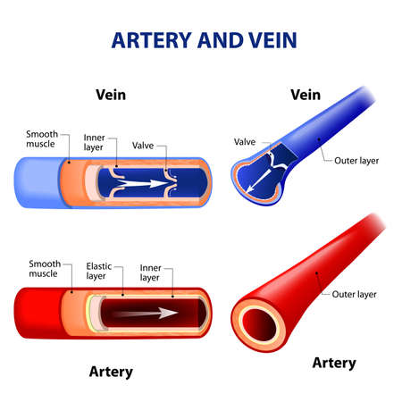 vessel: artery and vein. Circulatory system. Red indicates oxygenated blood, blue indicates