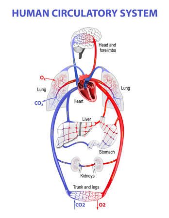 lymphatic vessel: The human circulatory system