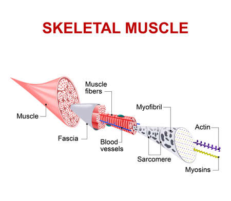 Each skeletal muscle fiber has many bundles of myofilaments. Each bundle is called a myofibril. This is what gives the muscle its striated appearance. The contractile units of the cells are called sarcomeres. Stock Vector - 56719800