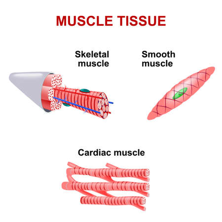 Types of muscle tissue. Skeletal muscle, smooth muscle, cardiac muscle.
