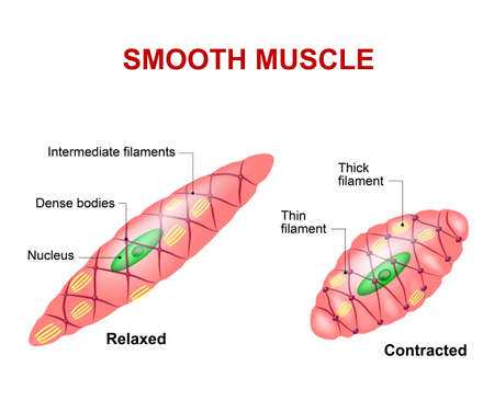 muscle cell: Smooth muscle tissue. Anatomy of a relaxed and contracted smooth muscle cell