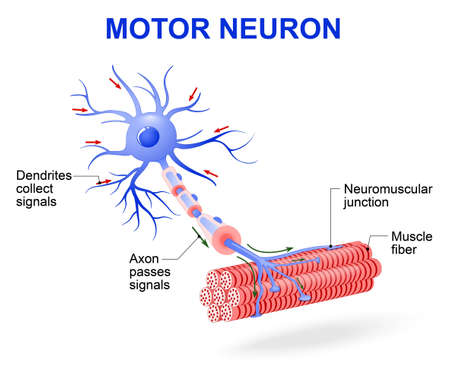 motor neuron: structure of motor neuron. Vector diagram. Include dendrites, cell body with nucleus, axon, myelin sheath, nodes of Ranvier and motor end plates. The impulses are transmitted through the motor neuron in one direction