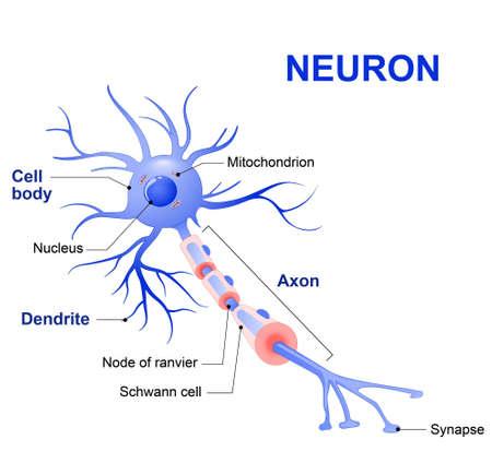 일반적인 인간의 신경 세포 (축삭, 시냅스, 수상 돌기, 미토콘드리아, 수초, 노드 Ranvier와 슈반 세포)의 해부학. 벡터도