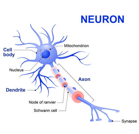 Anatomy of a typical human neuron (axon, synapse, dendrite, mitochondrion,  myelin  sheath, node Ranvier and Schwann cell). Vector diagram