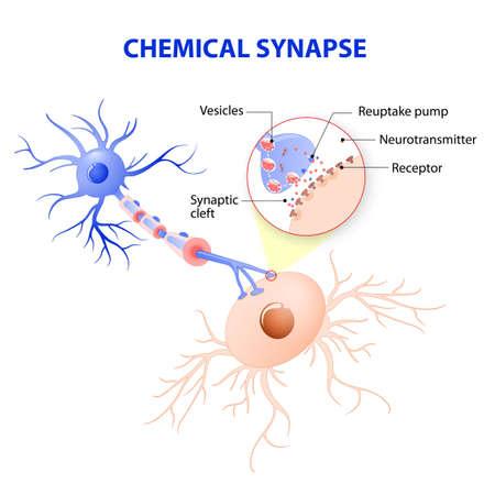 Structure d'une synapse chimique typique. mécanismes de libération des neurotransmetteurs. Les neurotransmetteurs sont emballés dans des vésicules synaptiques transmettent des signaux à partir d'un neurone à une cellule cible à travers une synapse. Vecteurs