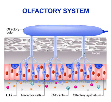receptors: olfactory system inside the human head. the olfactory bulb at the top which connects to scent cells at the bottom to identify odors