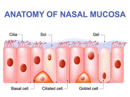 Células da mucosa nasal. Secreções nasais. Células ciliadas, basais e caliciformes. Epitélio olfativo. As células agem como um filtro de baixa resistência
