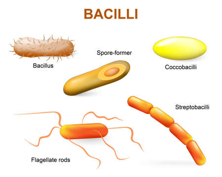 Bacillii. Common bacteria infecting human.