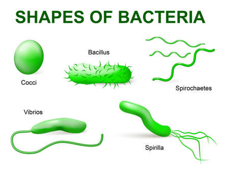 Common bacteria infecting human. illustration. Bacteria are classified into 5 groups according to their basic shapes: spherical (cocci), rod (bacilli), spiral (spirilla), comma (vibrios) or corkscrew (spirochaetes).