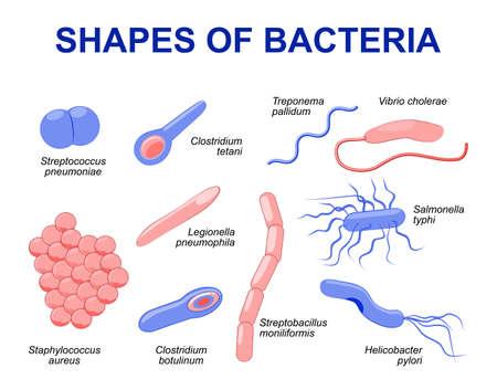 Las bacterias comunes infectar humanos. ilustración bacterias se clasifican en 5 grupos de acuerdo a sus formas básicas: esférica (cocos), barra (bacilos), espiral (espirilla), coma (vibriones) o sacacorchos (espiroquetas).