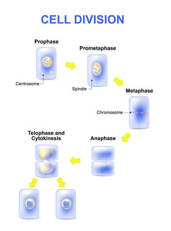 division: Cell division. Mitosis is the process by which our bodies replace cells. Daughter cells have identical chromosomes to parent cell, genetic material remains constant. steps  cell division.