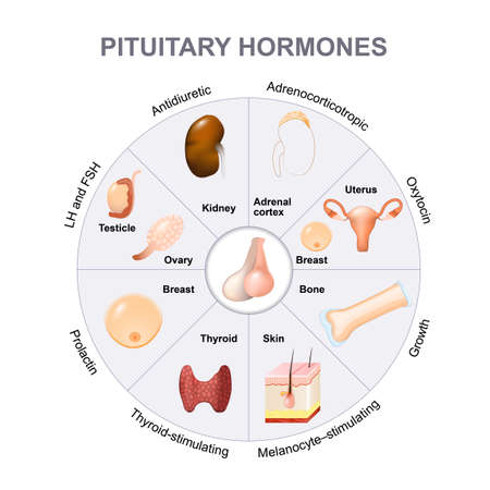 hipofisis: funciones de las hormonas pituitarias. Los dos lóbulos, anterior y posterior, funcionan como glándulas independientes. Vectores