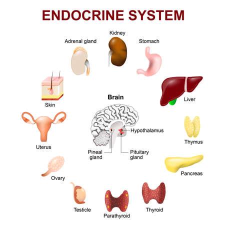 Anatomie humaine. Le système endocrinien (hypophyse, glande pinéale, du testicule, de l'ovaire, du pancréas, de la thyroïde, le thymus, la glande surrénale). Set icônes. Vecteur