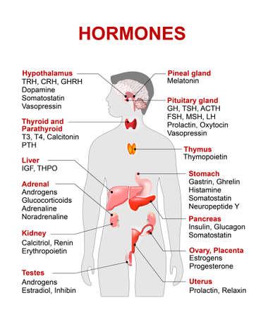 hormonas: glándulas endocrinas y las hormonas. sistema endocrino humano. anatomía. Silueta humana con los órganos internos de color rojo resaltados. Vectores