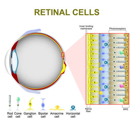 eye cross section: Photoreceptor cells in the retina of the eye. retinal cells. rod cell and cone cell. The arrangement of retinal cells is shown in a cross section Illustration