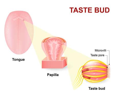 인간의 혀, 다국어 유두와 미뢰. 혀의 미각 수용기는 유두에 존재하고, 미각 수용체이다 일러스트