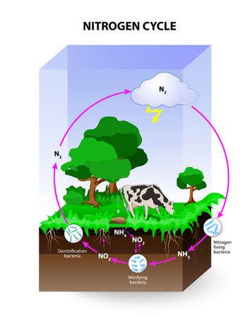 Cycle de l'azote. processus par lequel l'azote est converti entre ses différentes formes chimiques. Les processus du cycle de l'azote: fixation de l'azote, ammonification, nitrification et dénitrification. Banque d'images - 63146746