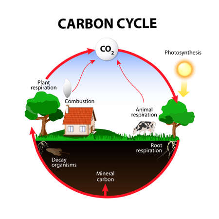 carbon cycle. The carbon path from the atmosphere, into living organisms, then turning into dead organic matter,  and back into the atmosphere. Banco de Imagens - 63133912
