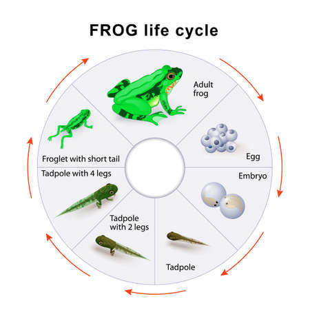 frog egg: frog life cycle. Amphibian Metamorphosis.