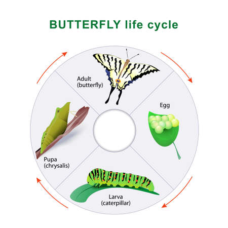 pupa: Butterfly life cycle. From caterpillar to butterfly. Metamorphosis. Scarce Swallowtail
