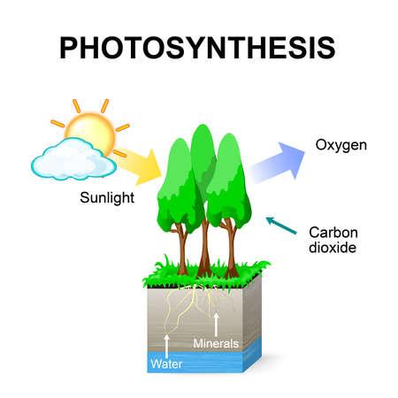 Fotosíntesis. Vector. Esquema de la fotosíntesis en las plantas.