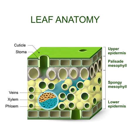 anatomía de la hoja. diagrama de la estructura de la hoja Ilustración de vector