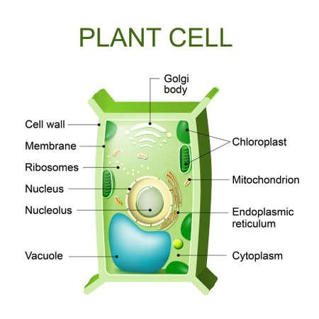 anatomía célula vegetal. Sección transversal de una planta de cel