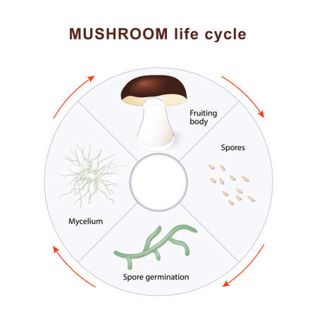 reproduction: mushroom life cycle. Mushrooms and vegetation. Reproduction fungus. Mycelium vegetative part of a fungus, consisting of a mass of branching, thread-like hyphae. Spore