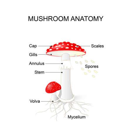 a fly agaric: Amanita muscaria. Mushroom Anatomy Illustration