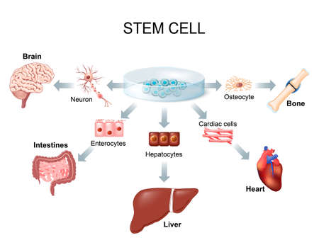 liver cells: stem cell application. Using stem cells to treat disease Illustration