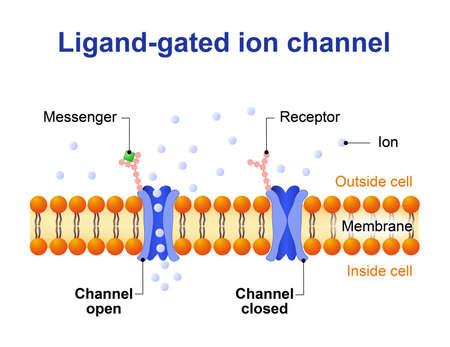 Ligand-gesteuerten Ionenkanals. Kanalproteine, die auf Ionen Na, K, Ca öffnen oder Cl Vektorgrafik