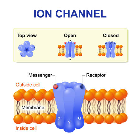 acetylcholine: Ion channel. structure of the channel. Vector diagram.