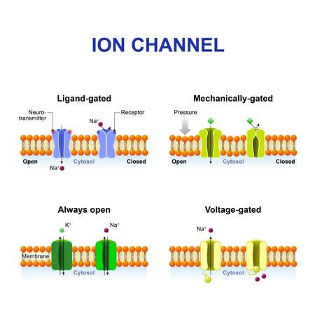 Tipos de canal iónico. Clasificación por gating. mecanismo de acción. Dependientes de voltaje, por ligando, mecánicamente cerrada y canales de iones Siempre abierto Foto de archivo - 63923652