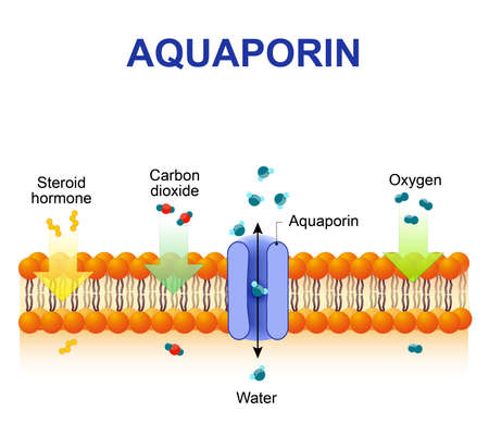 Schematic depiction of water molecule movement through of the aquaporin channel. Vettoriali