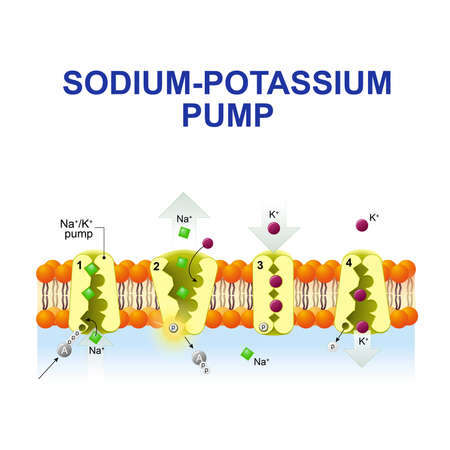 sodium-potassium pump or sodium-potassium adenosine triphosphatase. After binding ATP, the pump binds 3 ions sodium. ATP is hydrolyzed. the ions go to the outside. then The pump binds 2 extracellular ions potassium and transporting the ions into the cell. 向量圖像