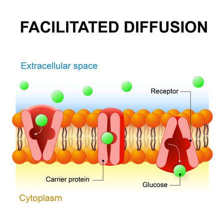 拡散を促進促進輸送またはパッシブを媒介します。運搬体蛋白質