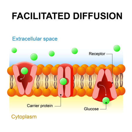 촉진 확산 또는 촉진 수송 또는 수동 중재 전송. 캐리어 단백질