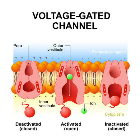 Voltage-gated channels. inactivation gate, deactivation and activation ion channel. Open and close gate. Interior of the cell is negatively charged and the exterior is positively charged and vice versa Vettoriali