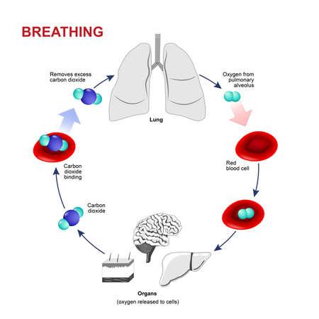 persona respirando: La respiración o la respiración. El intercambio de gases en los seres humanos. Sendero de los glóbulos rojos. El oxígeno y el dióxido de carbono se transportan en la sangre: desde los pulmones a los órganos y de nuevo a los pulmones.