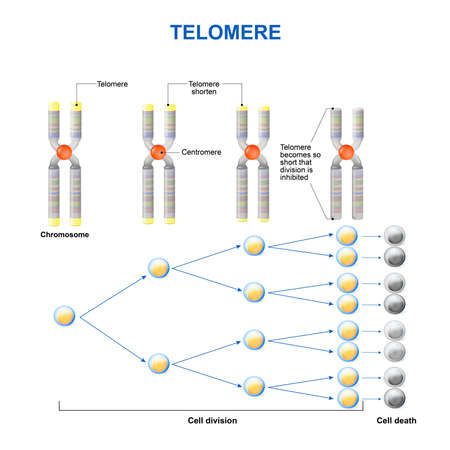 chromosomes: Telomere is a repeating sequence of double-stranded DNA located at the ends of chromosomes. Each time a cell divides, the telomeres become shorter. Eventually, the telomeres become so short that the cell can no longer divide. Illustration