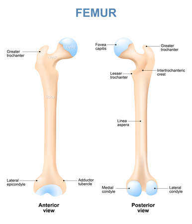femur: human femur with front and side view. Labeled. Detailed medical illustration. Isolated on a white background Illustration
