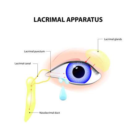 Aparato lagrimal. Anatomía del lagrimeo. secreción de lágrimas, que sirve para limpiar y lubricar los ojos. Ilustración de vector